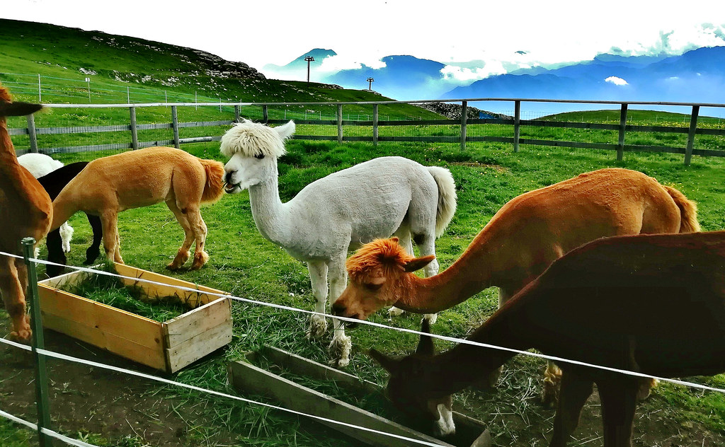 Italien,  Italy , In Malcesine(TN) am Gardasee - Auf dem Monte Baldo (1760m), Alpacas,  Lamas, 79226/20054