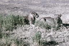 TZ Lake Manyara Safari - lions - 1965 (W65-A76-27)--Moldy