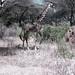 TZ Lake Manyara Safari - giraffe - 1965 (W65-A76-18)