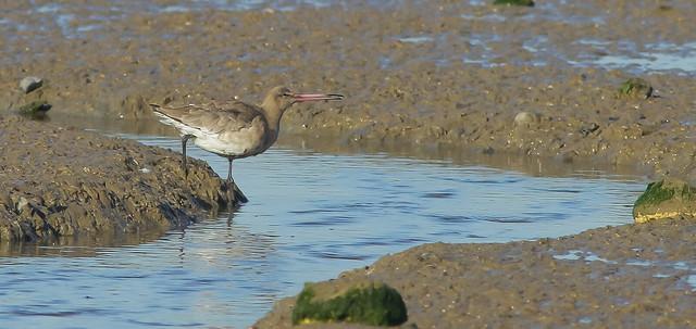 Bar-tailed godwit on the Stour Estuary Essex.
