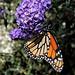 Front Yard Butterfly Bush