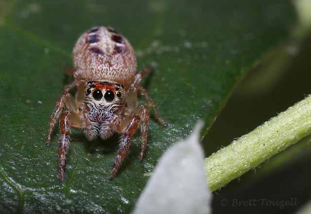 Scarcely-toothed Jumper