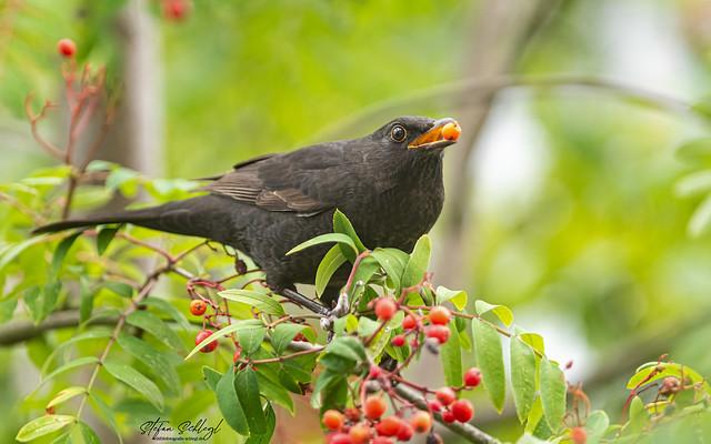 Amsel Common Blackbird / Turdus merula