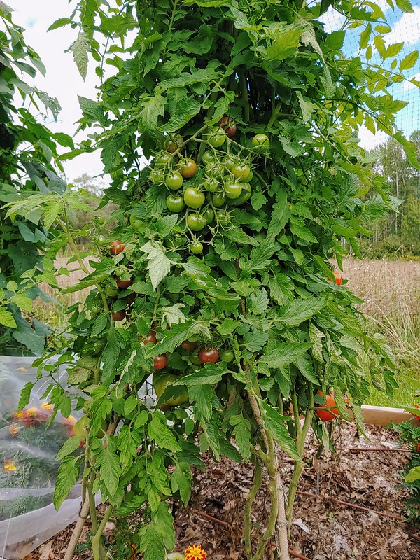 Tomatoes in the tomato teepee