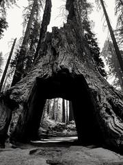 Sequoia cutout