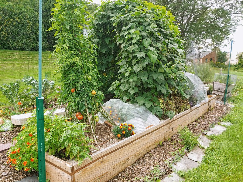 Another month and tomato teepee has fruit!
