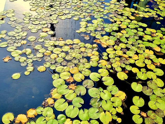 Water lilies in basin, Ramat Gan, Israel