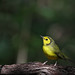 First Year Male Hooded Warbler