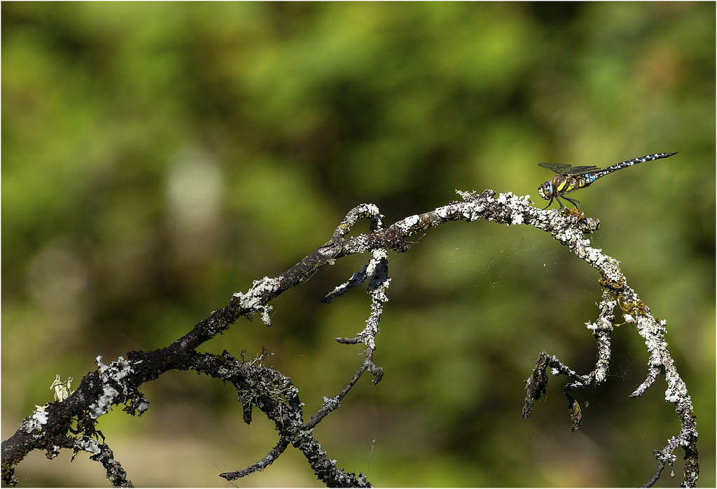 Southern male hawker forest farm canal 20 9 2021