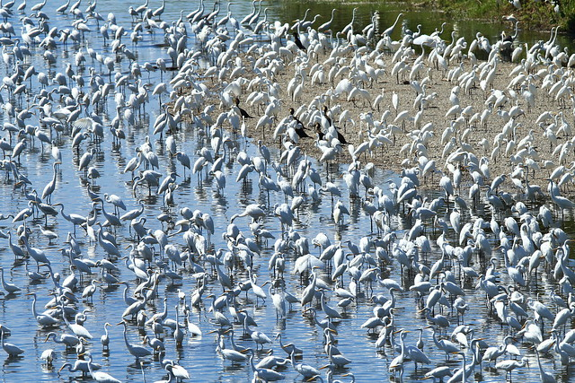 Thousands of egrets in the river