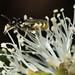 Euryglossina on Melaleuca_NPF_0098.jpg