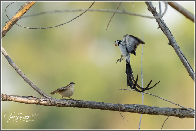Pin-tailed Whydah Courtship Display 6381