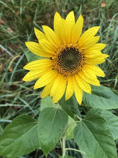 Autumn sunflower