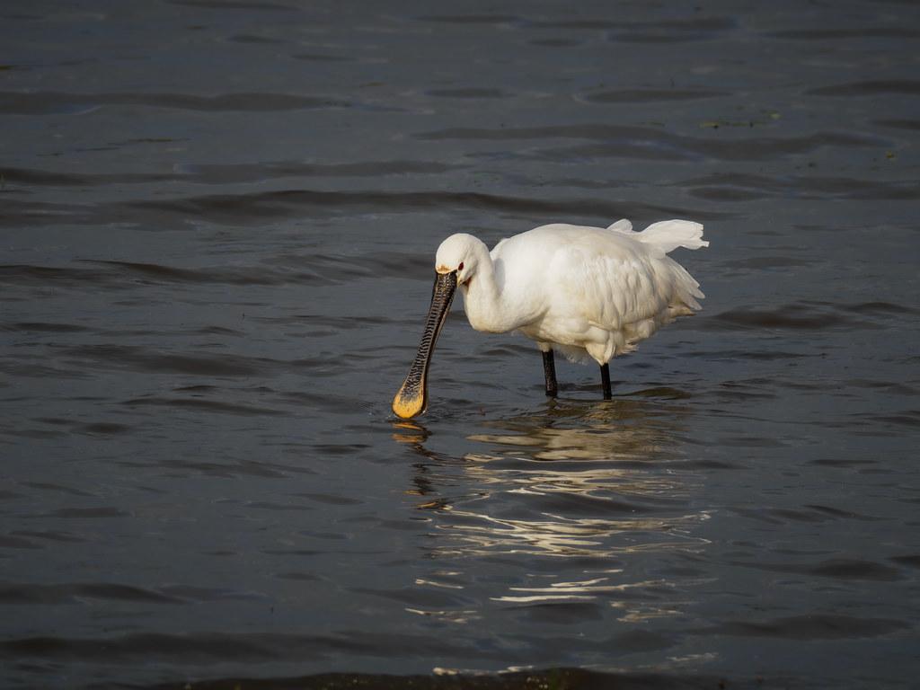 Löffler auf Nahrungssuche - Spoonbill in search of food