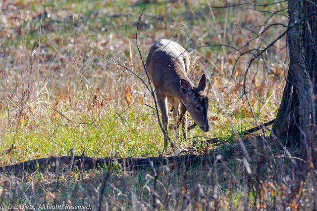 White-Tailed Deer #2 - 2020-04-18