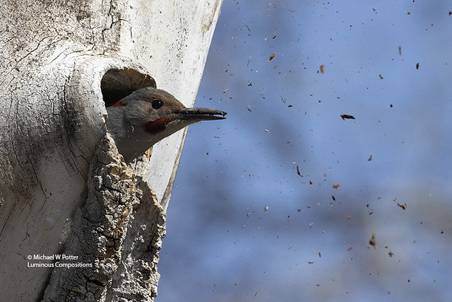 """""""Let the chips fall where they may"""" Northern Flicker excavating nest cavity"""