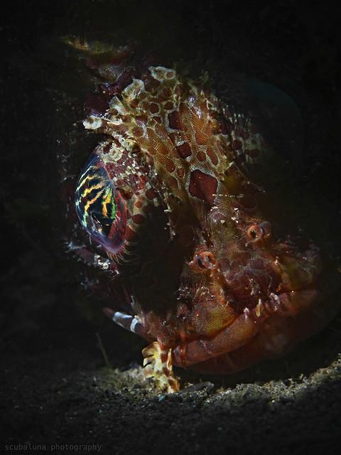 Shortfin Lionfish , Kurzflossen Zwergfeuerfisch (Dendrochirus brachypterus)