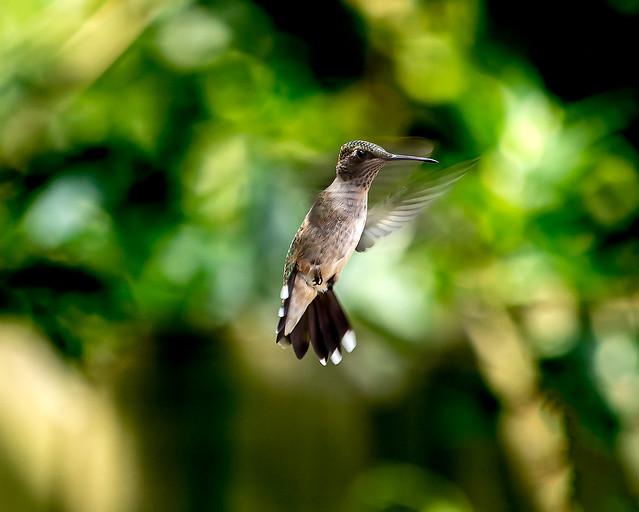 Hummingbird flight 1