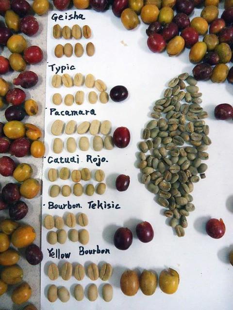 Alguno de las especies de granos de café más conocidos