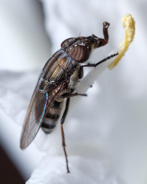 Nose fly ''Stomorhina lunata''