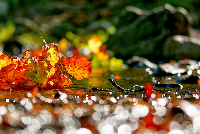 Autumn Oak Leaves in the River Lin