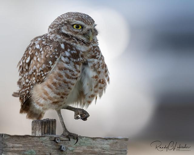 Burrowing Owl | Athene cunicularia | 2021 - 32