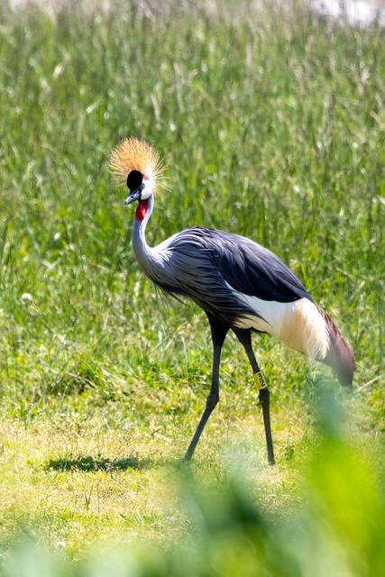 Eastern African Grey-Crowned Crane (Balearica regulorum)