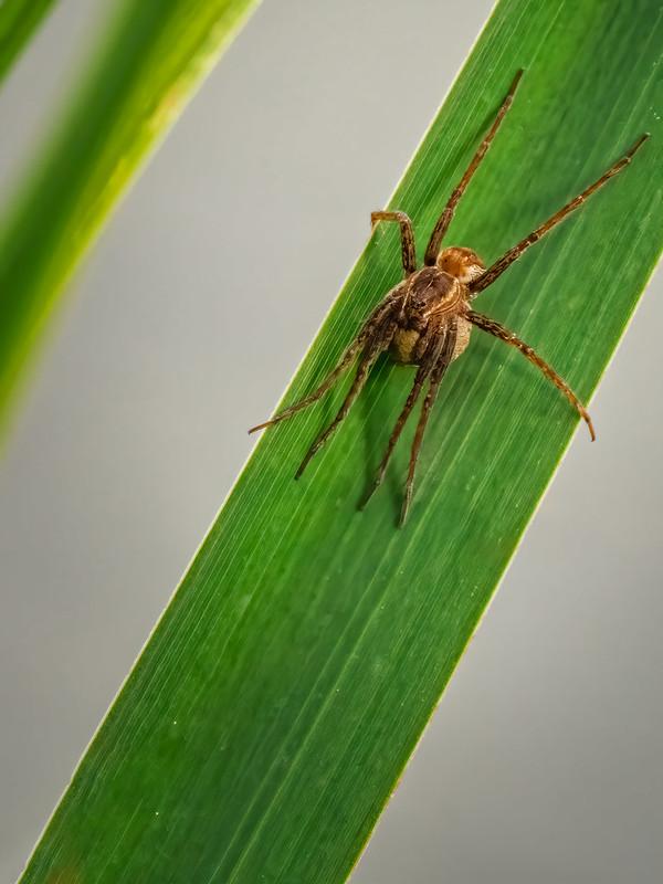 """L""""araignée loup veille sur sa progéniture... 51499324335_66a83aeed3_c"""