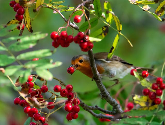 Robin plucks a rowan Berry - banks of the Dodder river in ireland