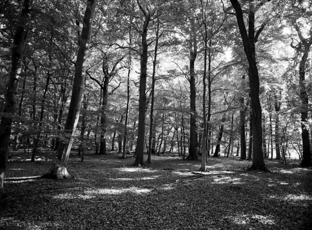 Bøgetræer, Nordskoven