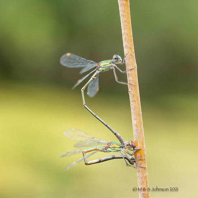 Willow Emerald Damselfly, Chalcolestes viridis