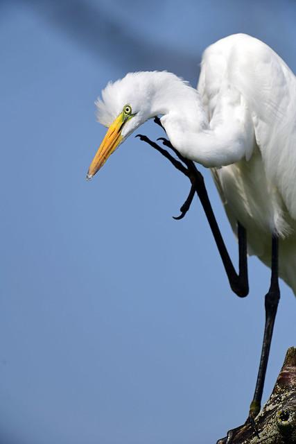 850_7359  Egret
