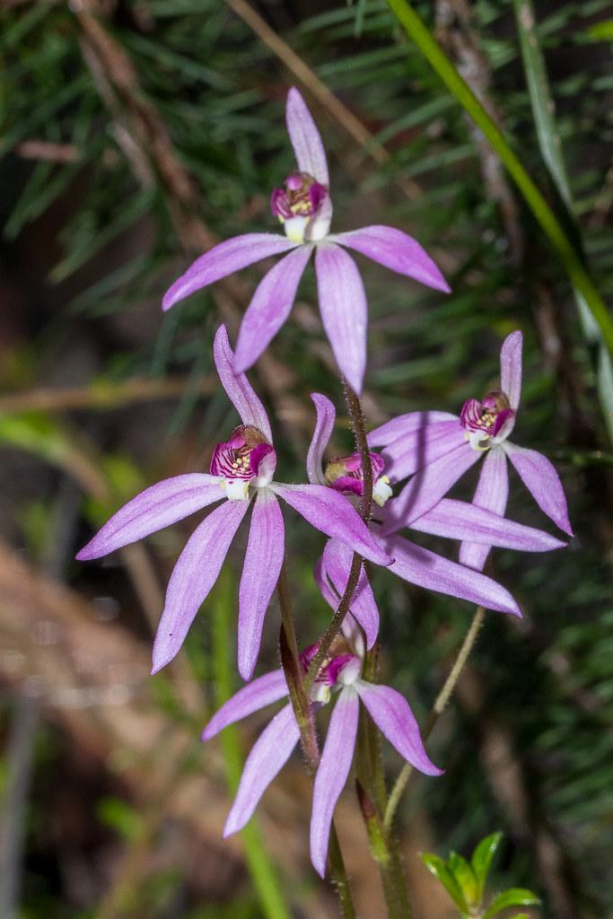 Caladenia hybrids