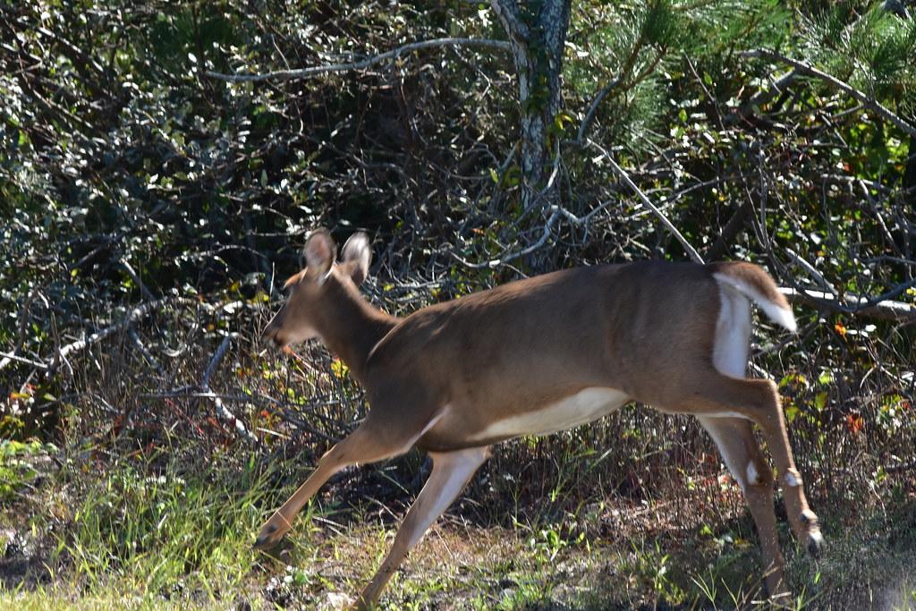 DSC_1757 Female Deer in flight @ Fire Island