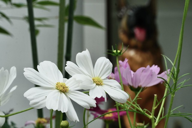 Cosmos in front of the veterinary clinic