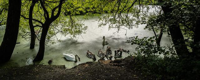 swan family, feeding