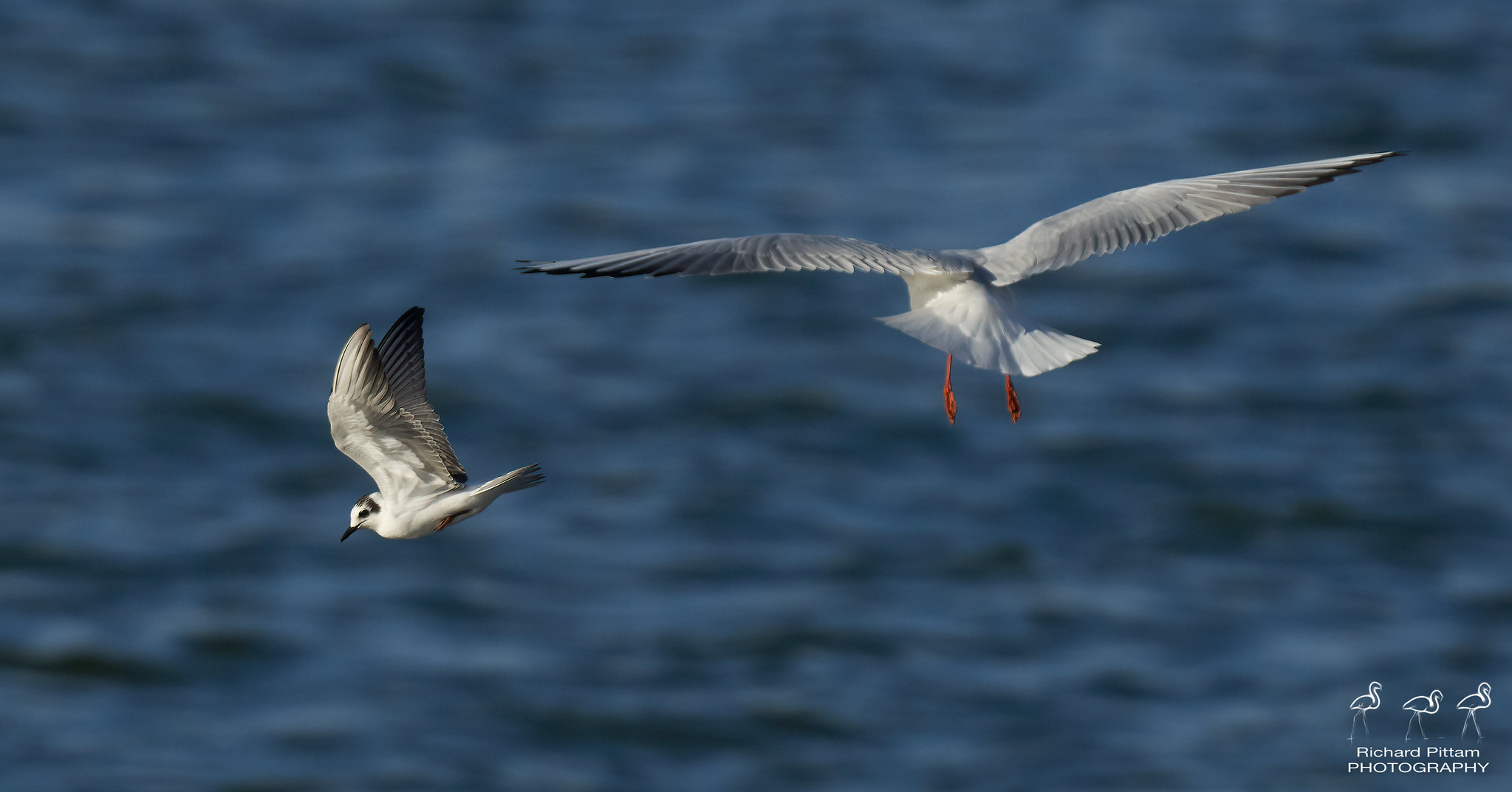 White-winged [black] Tern - harassed by gulls