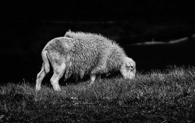 Sheep Half and Half. Herdwick on Crag Fell. Ennerdale. The Lake District. Cumbria. 14/06/2021.