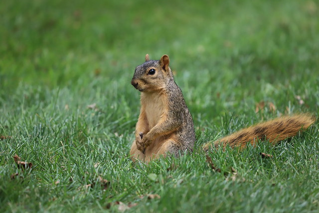 Fox Squirrels in Ann Arbor at the University of Michigan 263/2021 101/P365Year14 4849/P365all-time (September 20, 2021)