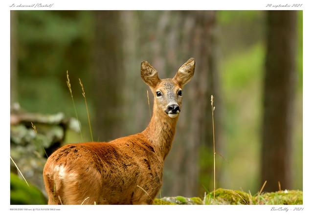 Le chevreuil | Deer [Cantal]