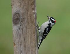 Downy Woodpecker at the Bird Studio