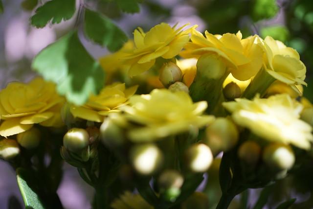 Kalanchoe blossfeldiana 'Calandiva Yellow' at home.