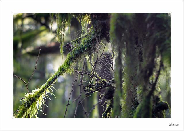 Hanging Moss - (Jupiter 8M, 52mm, f2.8) - 2021-08-23rd
