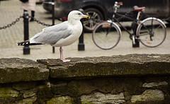 Local Estonian bird