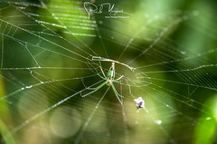 """Spider in the web"", Arthropoda; Arachnida; Nephila; Close up photography, Metocheria, Nampula, Mozambique, Africa"
