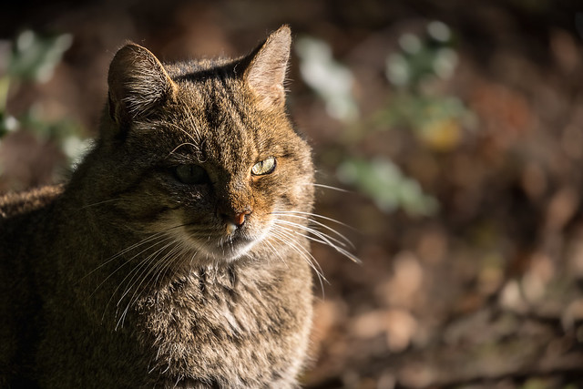 Wildkatzen-Portait
