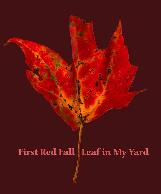 First Red Leaf In My Yard