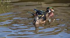 Wood Ducks - 8