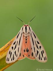 A tiger arge moth.