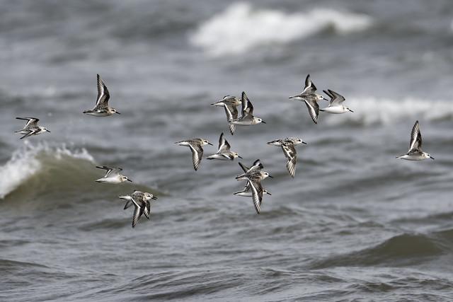 Flying Sanderling